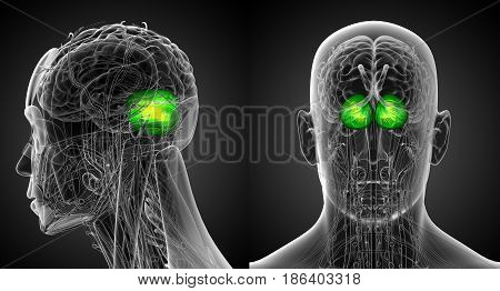 3D Rendering Medical Illustration Of The Human Brain Cerebrum