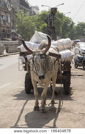 DELHI INDIA - JUL 13 : transportation goods by bull and wheelbarrow in old delhi of delhi on july 13 2015 india