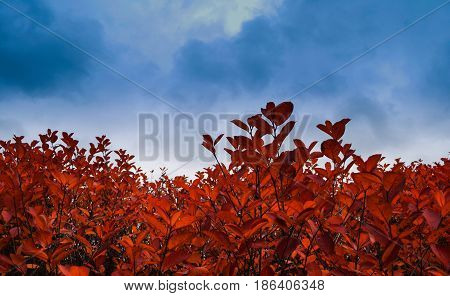 Red leaves with the blue sky in Oslo Norway