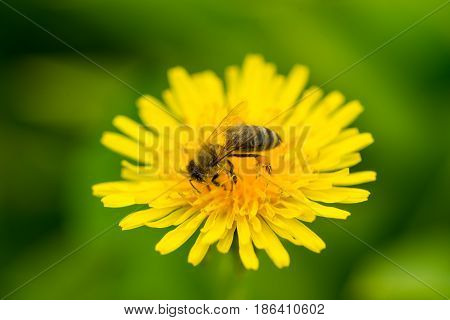 Macro of bee pollinate dandelion flower in garden