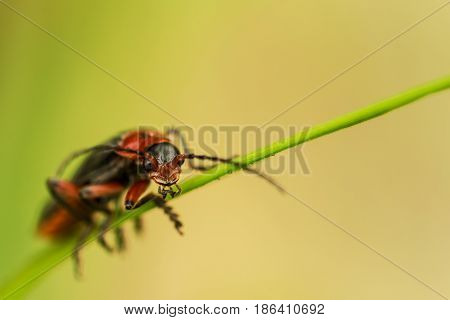 Extremely closeup of firefly on grass in day light