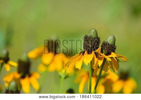 Clasping-leaved Coneflowers (Dracopis amplexicaulis) blooming in spring