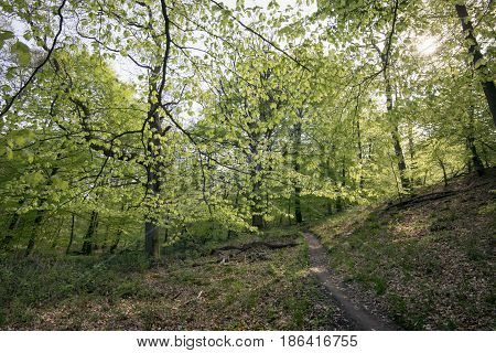 Path way in an early Danish spring green forest.