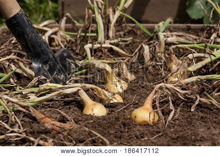 Harvesting Onions. Ripe Yellow Onion In Ground With Spade Close Up.