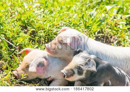 Three small cute piglets on the field in nature park Lonjsko polje, Croatia