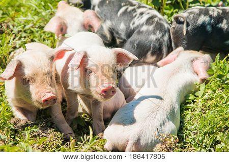 Bunch of cute piglets on the field in nature park Lonjsko polje, Croatia