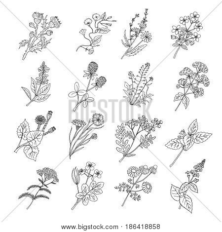 Botanical sketch drawings. Vector illustration of flowers and botanic herbs. Flower botanical graphic, floral natural herbal plants and flower