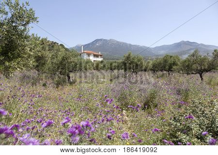 olive trees and purple thistle flowers behind villa near stoupa in mani on greek peloponnese under blue sky in spring