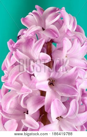 Lilac hyacinth flower close-up on a green background.