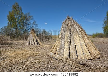 Bundles of natural reed for drying with blue sky