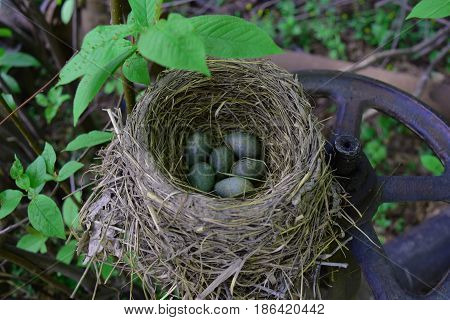 Thrush bird nest from hay with green and blue eggs with speckles on steel water valve.