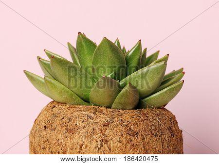 succulent plant close up