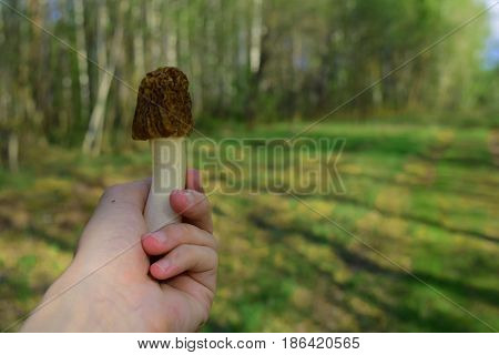 Siberian morel mushroom in human hand on spring taiga forest blur background