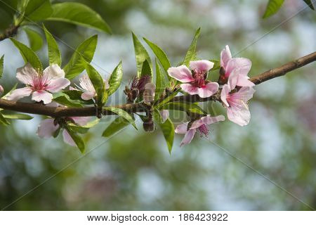 Peach Blossoms in Spring in North India