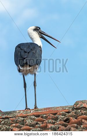 Single Woolly Necked Stork Against Blue Cloudy Sky
