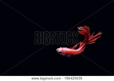 Red fighting fish on a black background.