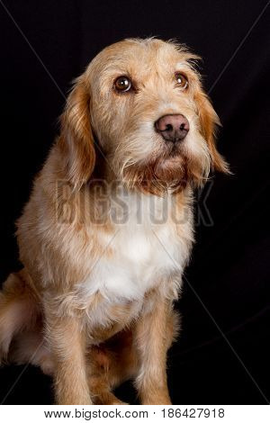 Dog Sitting On Her Buttocks On A Black Background