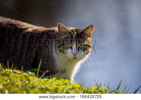 adult cat, mongrel and homeless, descends from a small hill with green grass, in the background dark gray and blue water, an animal brown in stripes with white breasts and muzzle,  street in the park