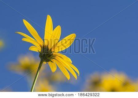 Helianthus Tuberosus Flower (jurusalem Arichoke) Against Blue Sky