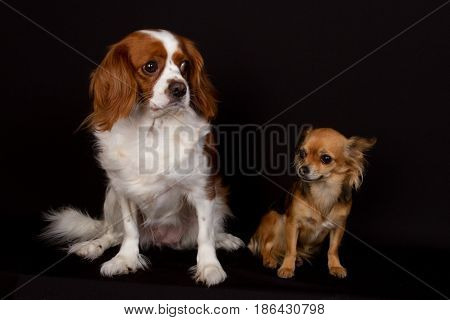 King Charles Cavalier And A Chihuahua Sitting In Front Of A Black Background