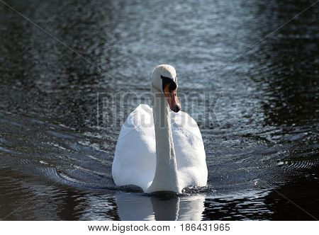 one beautiful white swan swims through the dark, black water of the pond, small waves diverge in the sides, looks directly into the camera, the bird in the center of the photo, wet feathers