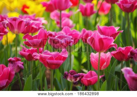 Tulip. Beautiful bouquet of tulips. colorful flowers. Tulips in spring,colourful tulip, pink tulips. Flower tulips background.