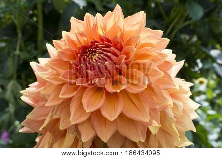Partial View Of Christie Leader Dahlias