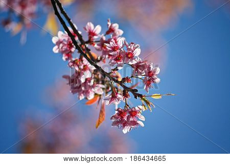 Closeup of Wild Himalayan Cherry (Prunus cerasoides) with a blue sky background