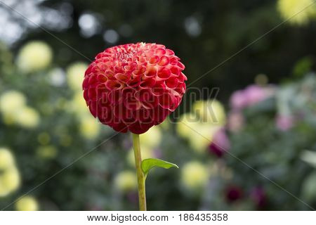 Red Stoneleigh Joyce Dahlia