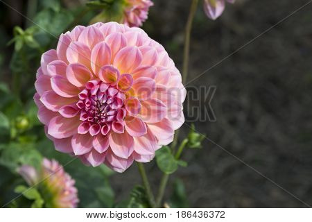 Pink Hillier Tanunda Dahlias - Left Side