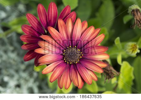 Two Osteospermum 'elite Ruby' Flowers