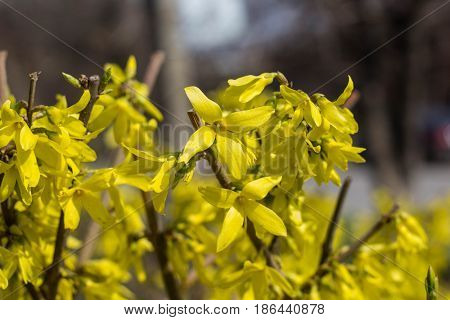 Blooming In Garden Bush Forsythia With Yellow Flowers