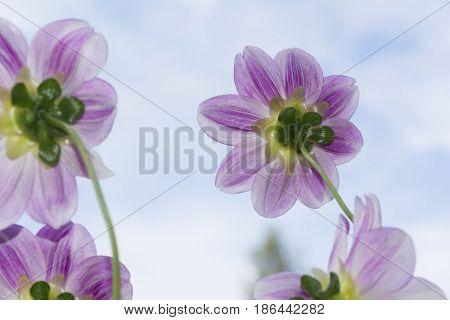 Four Aegean Sky Dahlia Flowers