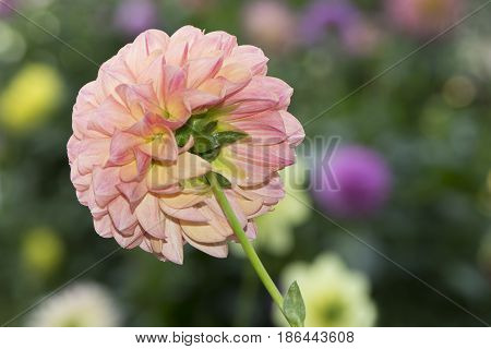 Robin Hood Dahlia Flowers With Blurred Flower Background