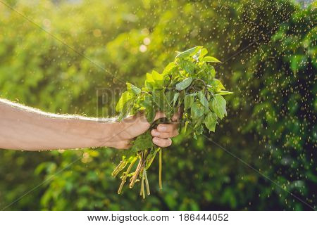 Bunch Of Basil In A Hand Of A Man With A Splashes Of Water In Air.