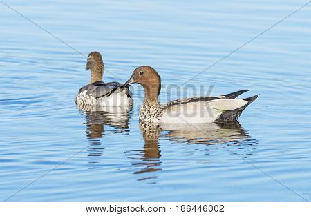 A pair of Australian Wood Duck, Maned Duck, or Maned Goose (Chenonetta jubata), a dabbling duck found throughout much of Australia.