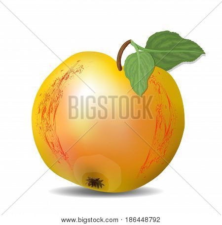 Isolated yellow apple with red texture and green leaves, fresh fruit with shadow on white background, photorealistic drawing, vector EPS 10