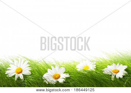 Spring chamomiles in fresh green grass isolated on white background
