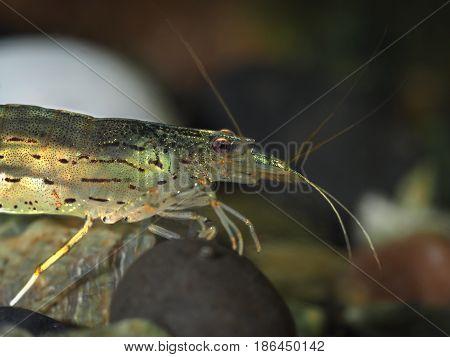 Aquarium shrimp. Portrait of a beautiful shrimp under water