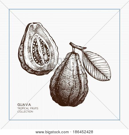 Engraved botanical sketch. Vintage tropical fruit design