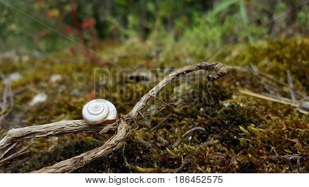 Detail of a white snail shell on a branch with moss around.