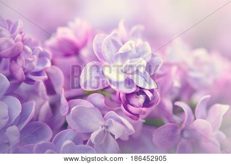 Lilac flowers bunch violet art design background. Beautiful violet Lilac flower closeup. Watercolor nature abstract floral backdrop