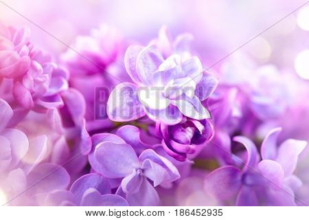 Lilac flowers bunch violet art design background. Beautiful violet Lilac flower closeup. Watercolor nature floral background