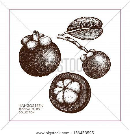 Purple mangosteen fruit hand drawn illustration. Engraved botanical sketch. Tropical evergreen tree design.
