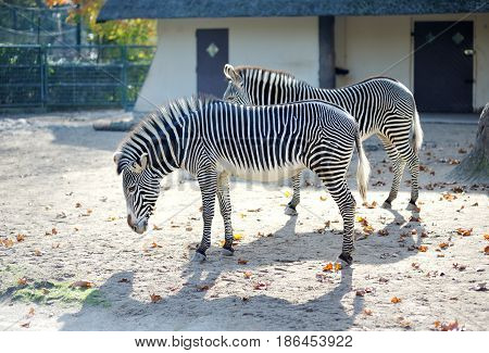 Two zebras with black and white stripes