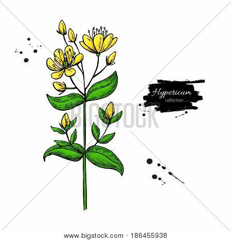 St. John's wort vector drawing set. Isolated hypericum wild flower and leaves. Herbal artistic style illustration. Detailed botanical sketch for tea, organic cosmetic, medicine, aromatherapy