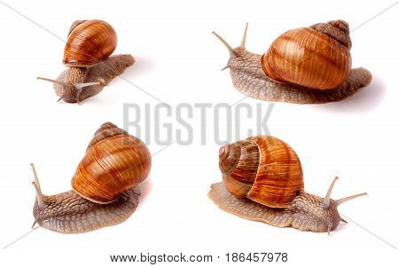 live snail crawling on white background close-up macro. Set or collection.