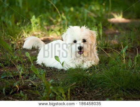 Beautiful bichon havanese puppy on a sunny forest