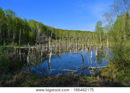 Wild swamp with birch snags in Siberian taiga forest in spring on a blue sky background