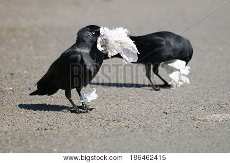 A pair of Jackdaws gathering discarded tissue litter for their nest